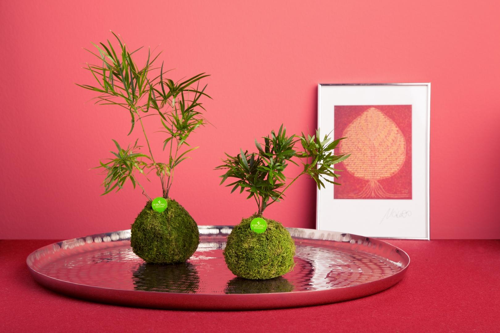 Zimmerpflanze-kibonu-bäumchen-mahira_pink